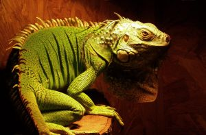 Leo the iguana by BlaideBlack