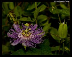 Purple Passions Are Blooming by boron