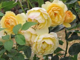Yellow Roses by scentedglitter