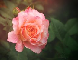 rose in august by Nexu4