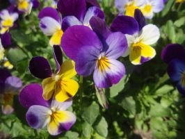 Flower: Pansy by Lsr-stock