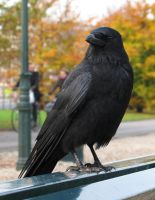 Crow 2 by dierat-stock