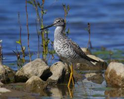 Greater Yellowlegs by swashbuckler