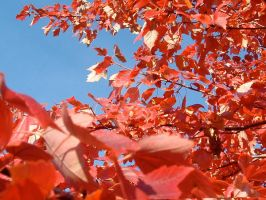 Red Leaves by LisaMacNewton