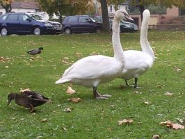 White Swans 12 by Fea-Fanuilos-Stock