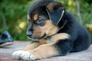 Rottweiler Puppy 1 by CanuckZD