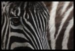 Zebras by Alannah-Hawker