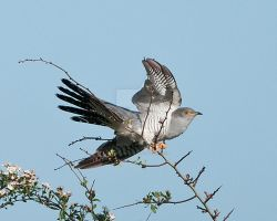 Cuckoo 3a by pixellence2