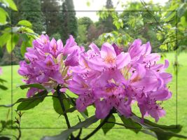 Rhododendron II by Jellings