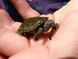 Baby Terrapin by MiDulceLocura