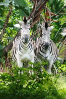 Zebras by PeterTBexley