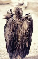 Vulture II. by Phototubby
