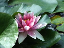 water lilly by Lisa-Gane