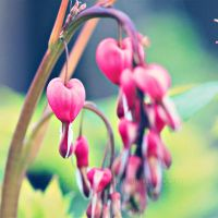 Bleeding hearts by EliseEnchanted