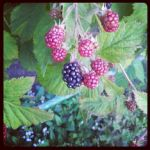 Blackberries by sheechaosqueen