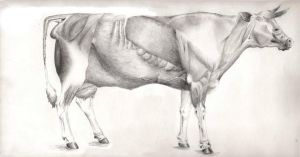 Cow Anatomy by Deviant-Nor