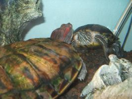 Turtles in Love by Molybdenum-Blues