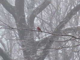 Cardinal in the Trees by Kiminjo