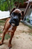 boxer by Anestis9985