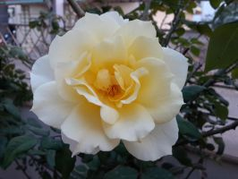 Yellow Rose 3 by sds49in