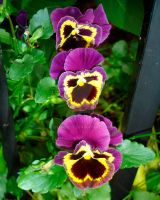 Pansy Pink 2009 by charmedy