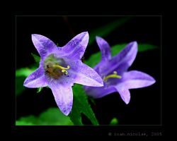 Bellflowers and emeralds by ioannicolae