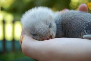 baby boy ferret by XxEmilyRosexX