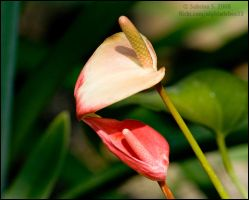 Anthurium by aheria
