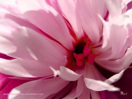 tenderness of a peony by ilura-menday-less