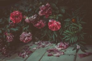 Last roses by NRichey