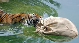 Sumatran Tiger: No Escape by The-Long-Shot