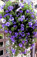 Purple Million Bells Hanging Basket by kayandjay100