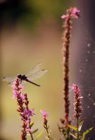 dragonfly and spiderweb by sugarcoat