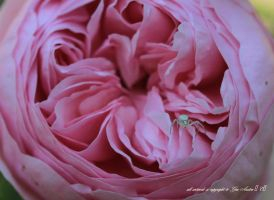 tiny spider on rose by GeaAusten