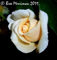 Night Time Rose by BreeSpawn