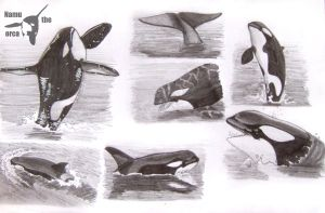 Killer whale practise by namu-the-orca