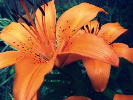 tiger lily II by fluffylink