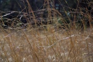 stock-little bluestem III by sevenbullsboy