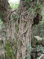 tree trunk with ivy 2 by RTyStock