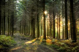 Pine Woodland, West Sussex by sam-knight