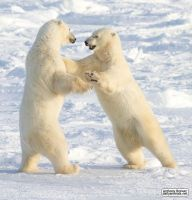 Dance of the white bears (I) by jaffa-tamarin