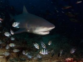 Bull Shark by ITacosharkI