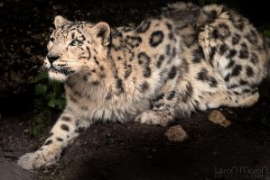 snow leopard by LeronMasoN