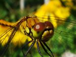 a dragonfly by Lucyolla