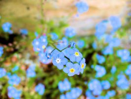 Forget-me-not by fotografka