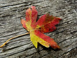 Small Autumn Leaf by Michies-Photographyy