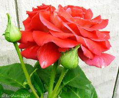 Red Rose With Buds II 118 by Eolhin