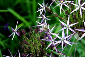 allium (with a bee) by Toki47