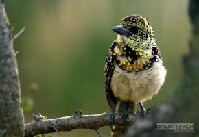 Usambiro Barbet 002 by OnyxHavok