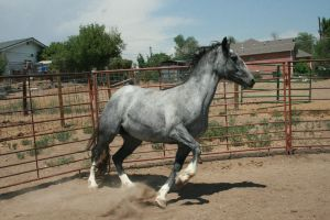 Blue Roan Stock 68 by tragedyseen
